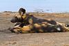Hunting Dogs, Serengeti, Tanzania, Africa