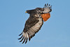 Augur Buzzard in flight, Serengeti, Tanzania, Africa