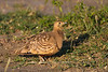 Chestnut-bellied Sandgrouse, Serengeti, Tanzania, Africa
