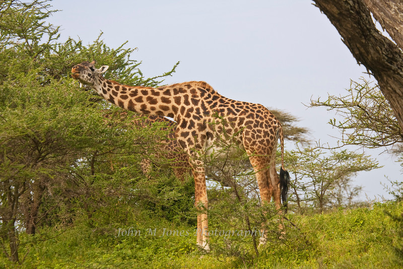 Masai Giraffe feeding on acacia leaves, Serengeti, Tanzania, Africa