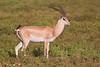 Grant's Gazelle, Serengeti, Tanzania, Africa