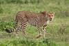 Cheetah, Serengeti, Tanzania, Africa