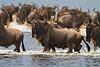 Wildebeest crossing lake, Lake Ndutu, Serengeti, Tanzania, Africa