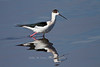 Black-winged Stilt, Lake Ndutu, Serengeti, Tanzania, Africa