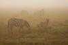 Zebra in early morning fog, Serengeti, Tanzania, Africa