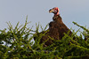 Lappet-faced Vulture warming in the early morning sun, Serengeti, Tanzania, Africa
