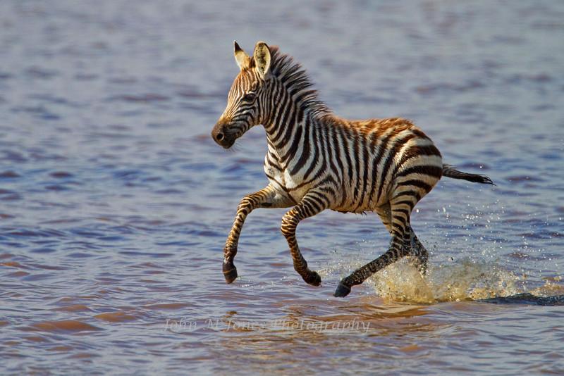 Zebra colt, Lake Ndutu, Serengeti, Tanzania, Africa