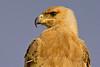 Tawny Eagle, Serengeti, Tanzania, Africa