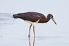Abdim's Stork, Lake Ndutu, Serengeti, Tanzania, Africa