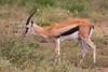 Thomson's Gazelle, Serengeti, Tanzania, Africa