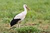 White Stork, Serengeti, Tanzania, Africa