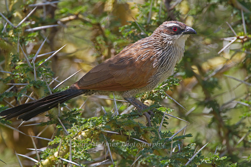 White-browed Coucal, Serengeti, Tanzania, Africa