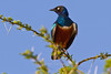 Superb Starling, Serengeti, Tanzania, Africa