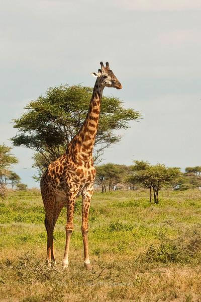 Masai Giraffe, Serengeti, Tanzania, Africa