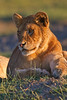 Lion cub, Serengeti, Tanzania, Africa
