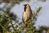 Wattled Starling, Serengeti, Tanzania, Africa