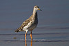 Ruff, Lake Ndutu, Serengeti, Tanzania, Africa