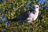 Black-shouldered Kite, Serengeti, Tanzania, Africa