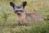 Bat-eared Fox, Serengeti, Tanzania, Africa