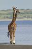 Masai Giraffe, Lake Ndutu, Serengeti, Tanzania, Africa