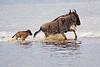 Wildebeest, Lake Ndutu, Serengeti, Tanzania, Africa