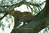 Leopard, Serengeti, Tanzania, Africa