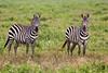 Plains Zebra, Serengeti, Tanzania, Africa