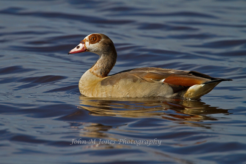 Egyptian Goose, Lake Ndutu, Serengeti, Tanzania, Africa