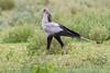 Secretarybird, Serengeti, Tanzania, Africa