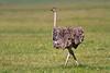 Ostrich female, Serengeti, Tanzania, Africa