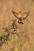 Little Bee-eater, Tarangire NP, Tanzania, Africa
