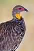 Yellow-necked Francolin, Tarangire NP, Tanzania, Africa