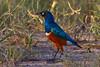 Superb Starling, Tarangire NP, Tanzania, Africa