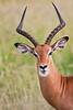 Impala, Tarangire NP, Tanzania, Africa