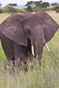 African Elephant, Tarangire NP, Tanzania, Africa