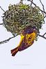 Black-headed Weaver, Tarangire NP, Tanzania, Africa