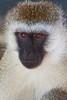 Black-faced Vervet, Tarangire NP, Tanzania, Africa