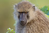 Olive baboon female, Tarangire NP, Tanzania, Africa