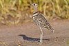 Two-banded Courser, Tarangire NP, Tanzania, Africa