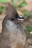 Speckled Mousebird, Tarangire NP, Tanzania, Africa