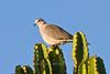 Ring-necked Dove, Tarangire NP, Tanzania, Africa