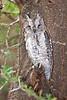 Common Scops-Owl, Tarangire NP, Tanzania, Africa