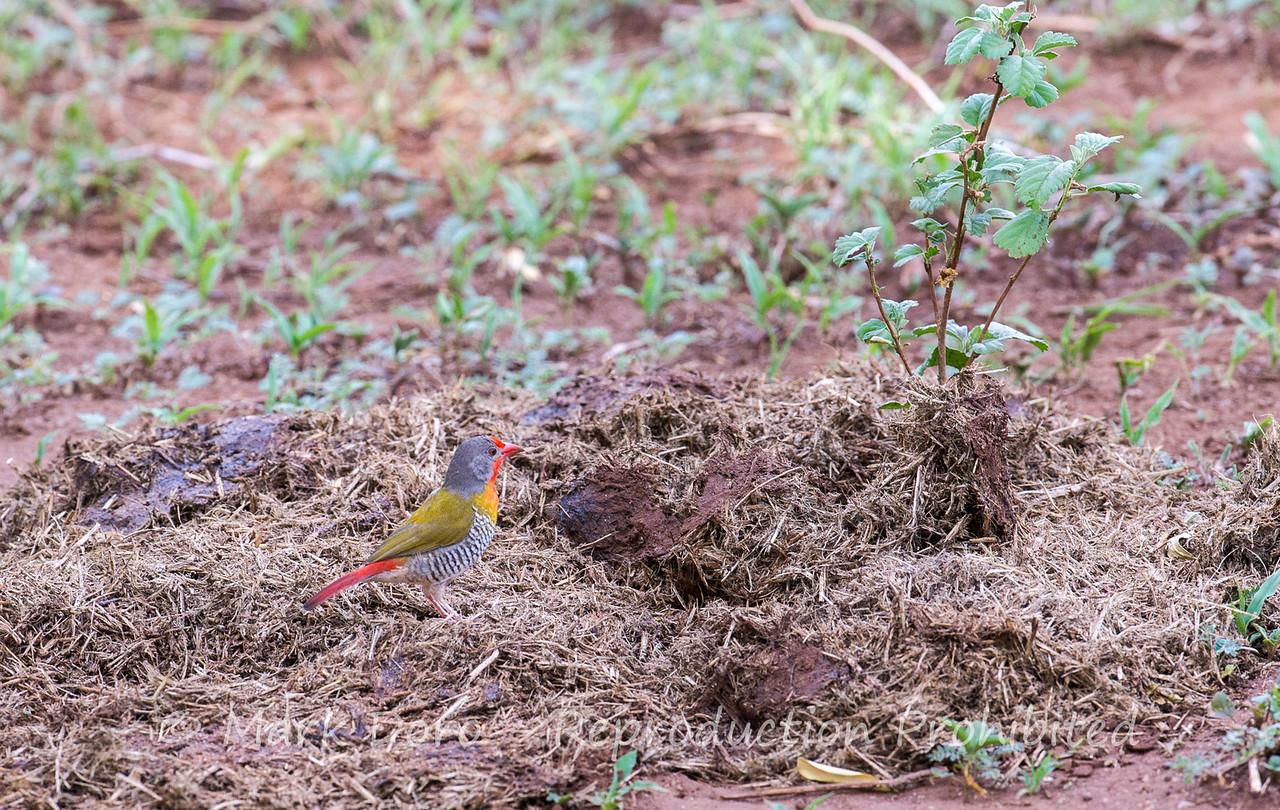 Green-winged Pytilia, Lake Manyara, Tanzania