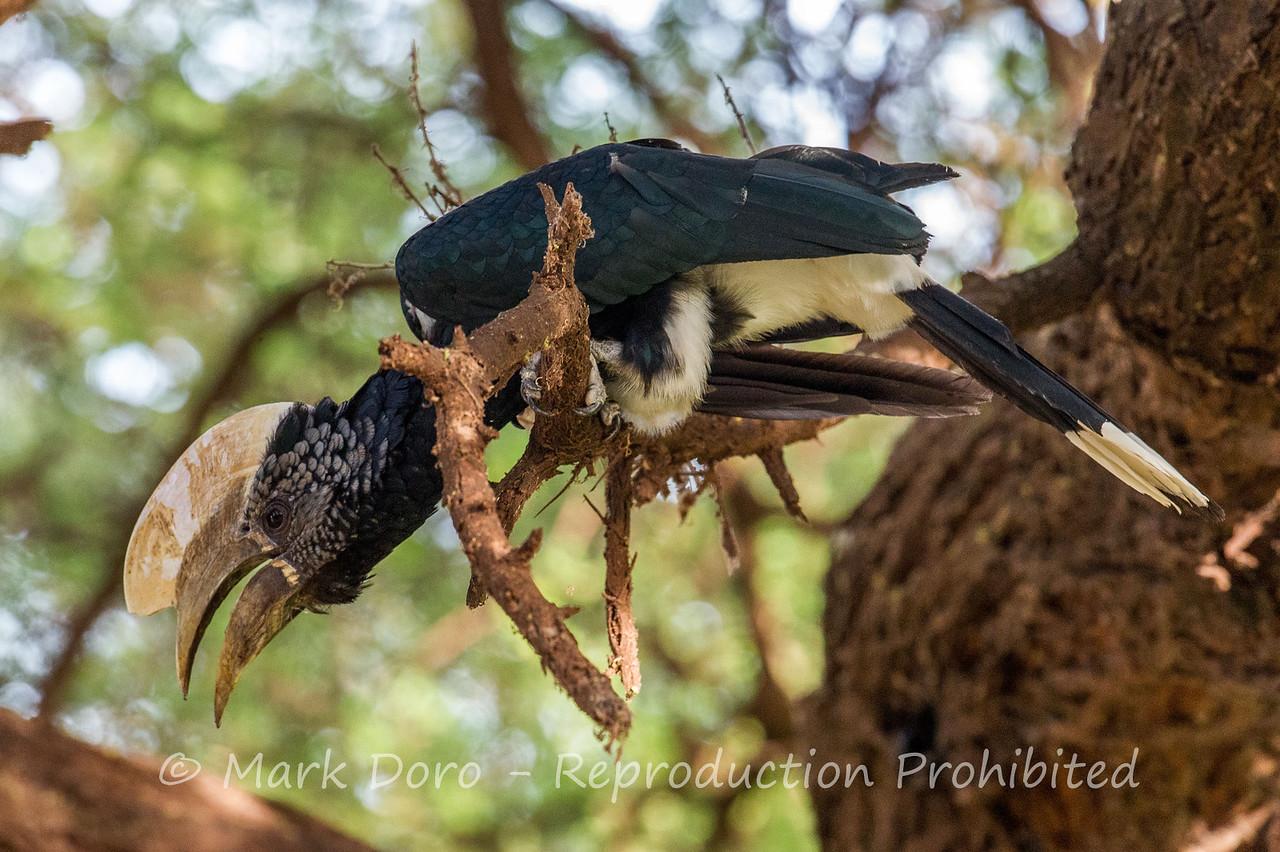 Silvery-cheeked Hornbill, Lake Manyara, Tanzania