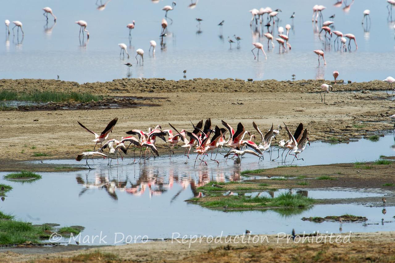 Lesser Flamingo, Lake Manyara, Tanzania