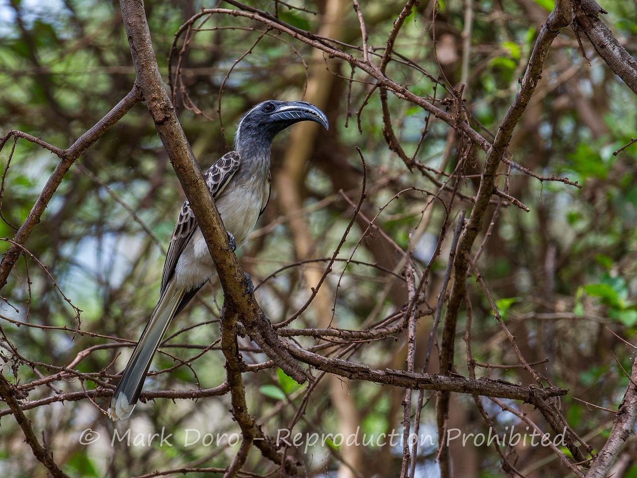 African Grey Hornbill, Lake Manyara, Tanzania