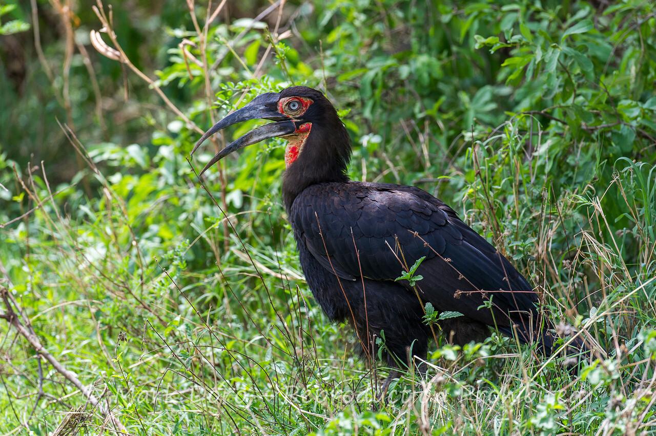 Southern Ground-hornbill, Lake Manyara, Tanzania