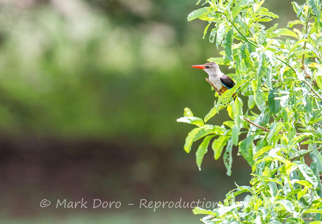 Grey-headed Kingfisher, Lake Manyara, Tanzania
