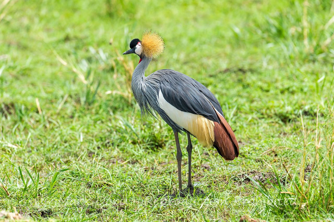 Grey Crowned Crane, Lake Manyara, Tanzania