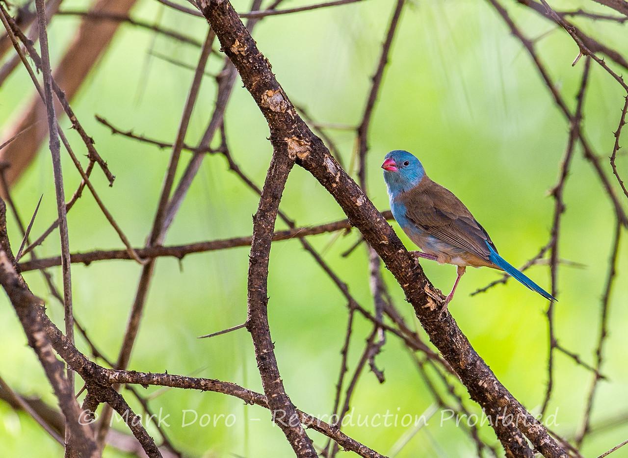 Blue-capped Cordon Bleu, Lake Manyara, Tanzania